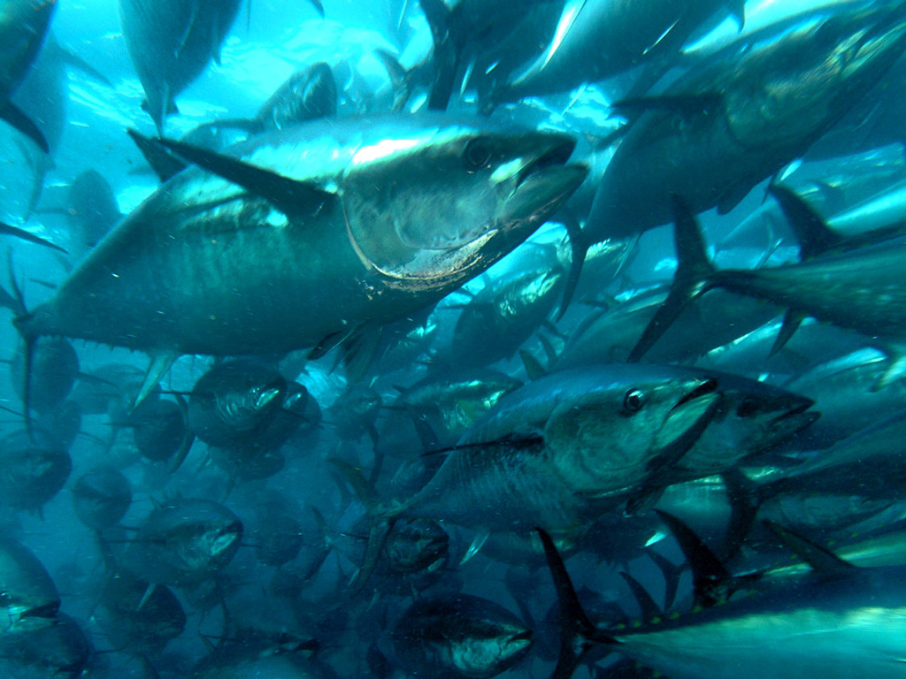 plavoperajna-tuna-10