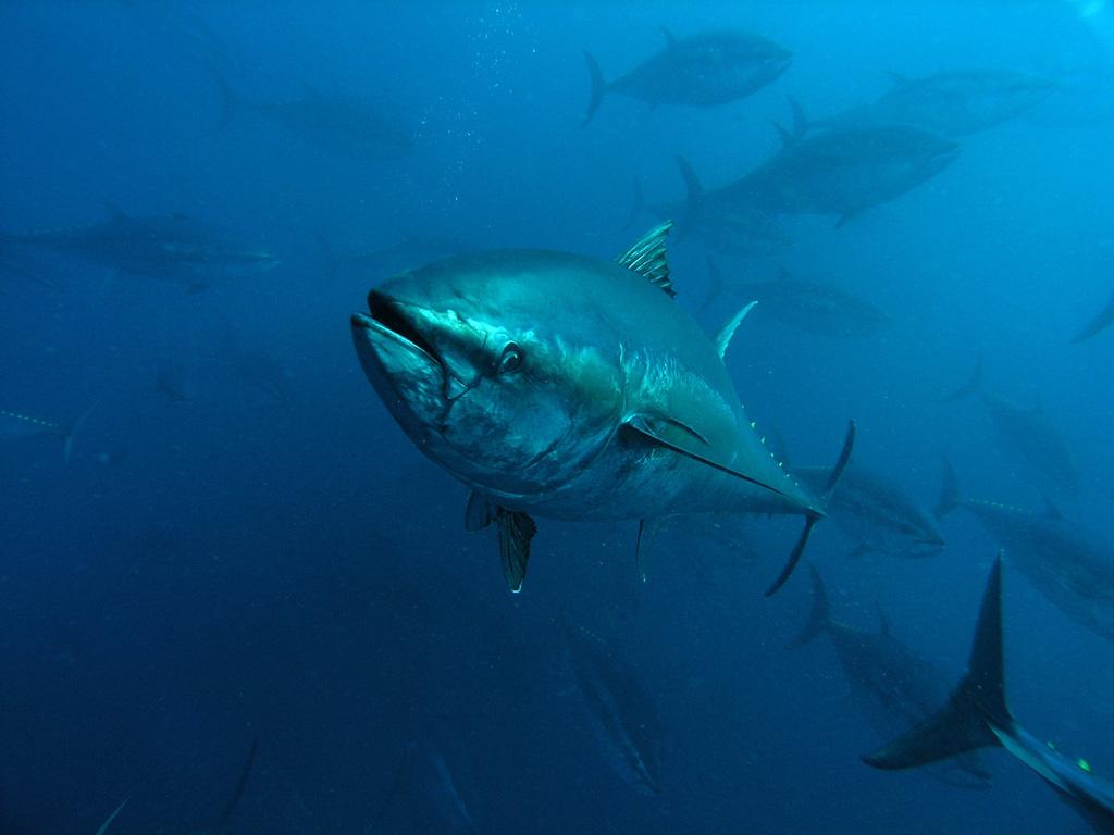 plavoperajna-tuna-2