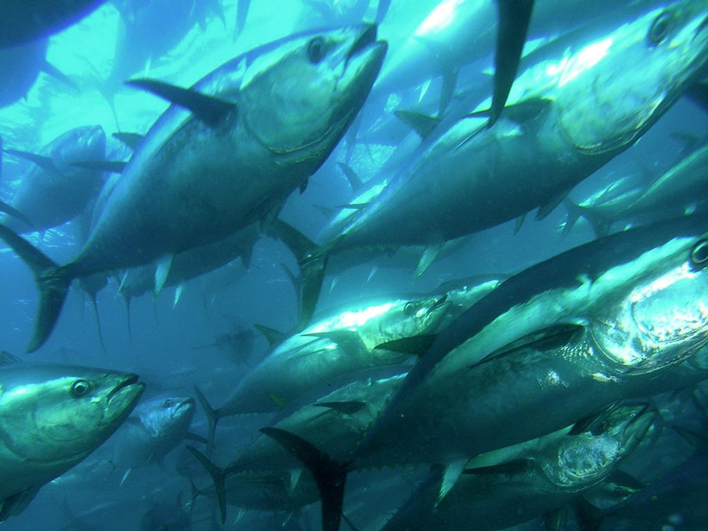 plavoperajna-tuna-9