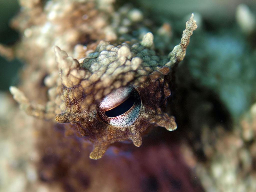 Centaurus - svježa i smrznuta riba - hobotnica