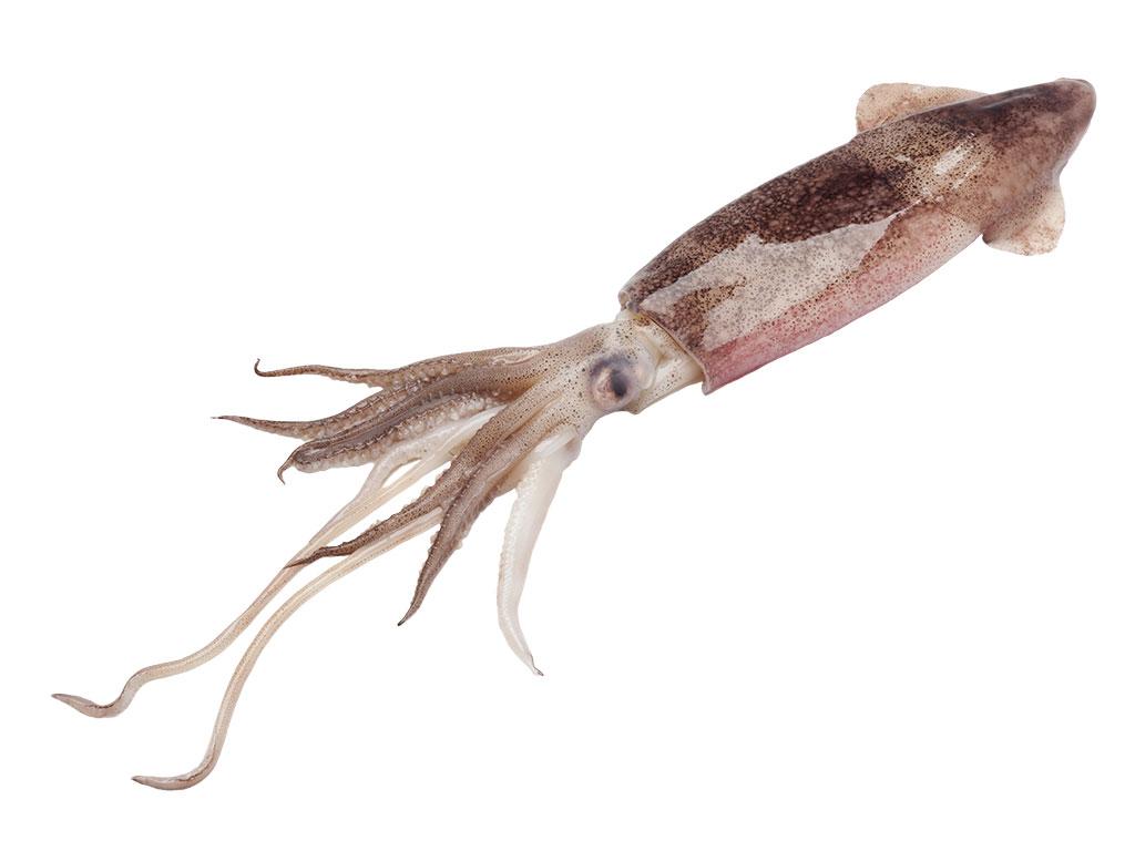 Centaurus - svježa i smrznuta riba - lignja