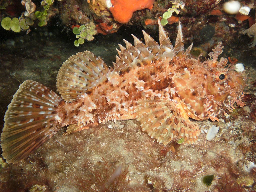 Centaurus - svježa i smrznuta riba - škarpina