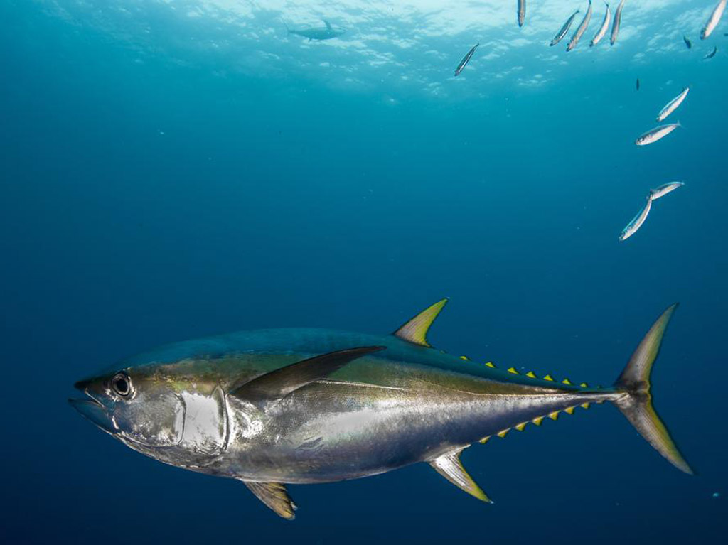 tuna-zutoperajna-4