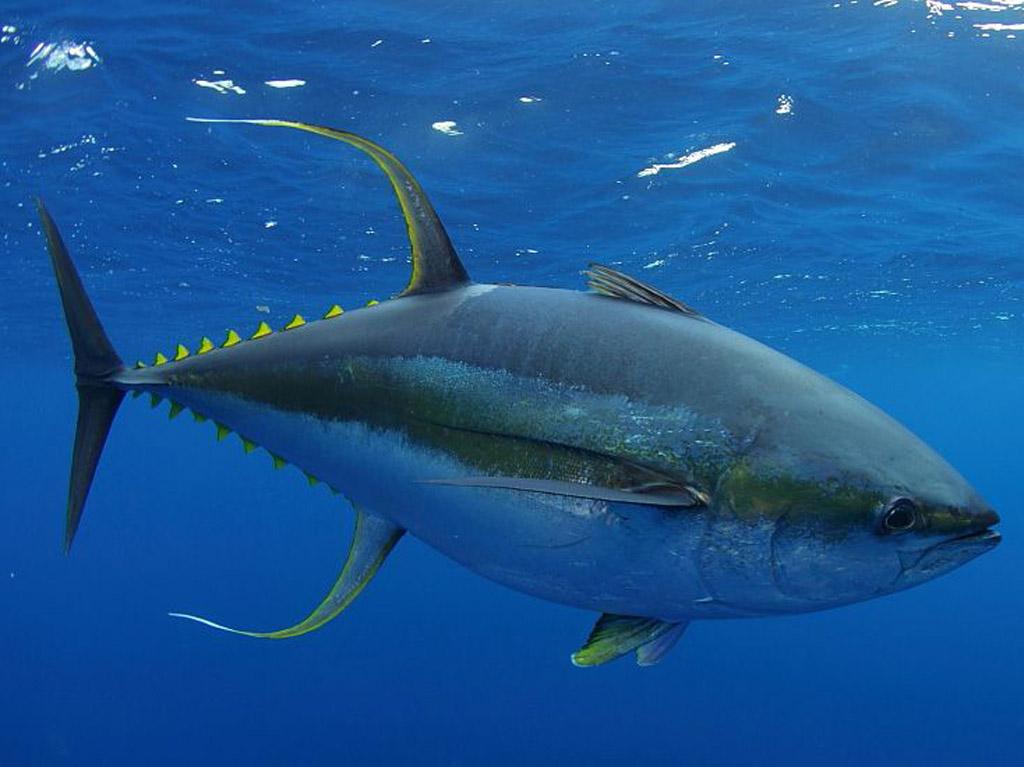 tuna-zutoperajna-5