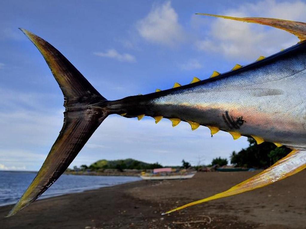 tuna-zutoperajna-6
